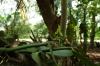 Vanilla vine with flowers & pods, Kidichi Spice Farm, Tanzania