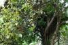 Annato or Lipstick tree, Kidichi Spice Farm, Tanzania
