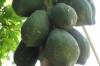 Papaya, Kidichi Spice Farm, Zanzibar Island, Tanzania