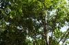 Nutmeg tree, Kidichi Spice Farm, Tanzania
