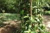 Peppercorn vine, Kidichi Spice Farm, Tanzania