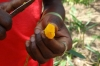 Tumeric root, Kidichi Spice Farm, Tanzania