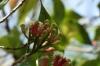 Cloves, Kidichi Spice Farm, Tanzania