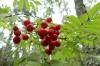 Autumn berries at Nida beach LT