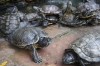 Turtles, special for their long life, in an overcrowded pond at the International Buddhist Pagoda, Kuala Lumpur MY