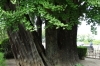 Ancient Ginko tree, Kumamoto Castle, Japan