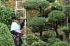 Tree pruning, Japanese style at Kumamoto Castle, Japan