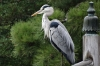 Grey heron on the Keyakibashi Bridge, Kyoto Imperial Palace, Japan