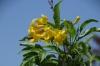 Yellow flower and bee near San Antonio, south of La Paz