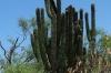 Cactus and fruit in the Sierra La Laguna, south of La Paz