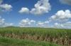 Sugar cane, La Romana DO