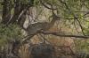 Kill Springer (antelope family), Lake Manyara Park, Tanzania
