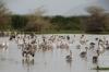 Pelicans on Lake Manyara, Tanzania