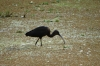 Black Ibis, Lake Manyara Park, Tanzania