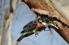 Kingfisher on Lake Naivasha, Kenya