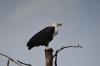 Fish Eagle on Lake Naivasha, Kenya