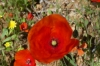 Wild poppies, The Tombs of the Kings, Paphos CY