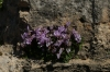 Wild cyclamen, The Tombs of the Kings, Paphos CY