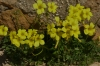 Yellow flowers, The Tombs of the Kings, Paphos CY