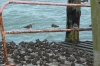 Turnstones resting on Southend Pier