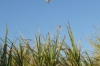 Landing in a sugar cane field after balloon flight over Valley of the Kings, Luxor