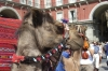 Camel in Plaza Mayor, Madrid.  Why?  I don't know. ES