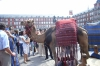 One of the camels in Plaza Mayor, Madrid. ES