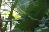 Green lizard. Manuel Antonio National Park