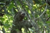 Three toed sloth. Manuel Antonio National Park