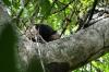 Armadillo in a tree. Manuel Antonio National Park