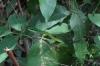 Green snake. Manuel Antonio National Park