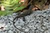 Lizard. Manuel Antonio National Park