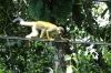 Squirrel monkeys. Manuel Antonio National Park