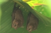 Bats. Manuel Antonio National Park