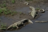 Large crocodiles on Rio Grande de Tacoles, between San Jose and Manuel Antonio