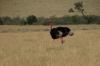 Somali Ostrich, Masaimura National Reserve, Kenya
