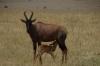 Topi Gazelle & young cub, Masaimura National Reserve, Kenya