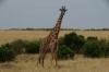 Masai Giraffe, Masaimura National Reserve, Kenya