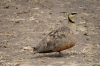 Yellow Throated Sandgrouse, Masaimura National Reserve, Kenya