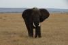 Elephant, Masaimura National Reserve, Kenya