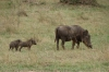 Warthog family, Masaimura National Reserve, Kenya