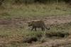 Leopard, Masaimura National Reserve, Kenya