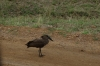 Hammerkop Bird, Masaimura National Reserve, Kenya