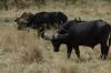 Buffaloes, Masaimura National Reserve, Kenya