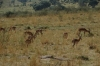A group of male Impalas, Masaimara, Kenya