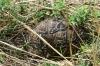 Leopard Tortoise, Masaimara, Kenya