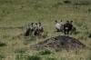 Vultures, Masaimara, Kenya