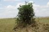 Sandpaper Tree, Masaimara, Kenya