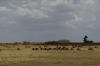 Lines of migrating Wildebeest, Masaimara, Kenya