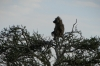 Baboon in a tree, Masaimara, Kenya